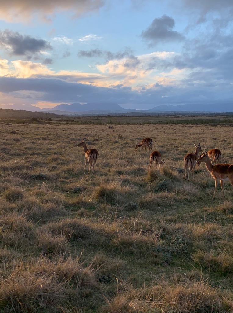 Red Hartebeest, Gondwana Game Reserve