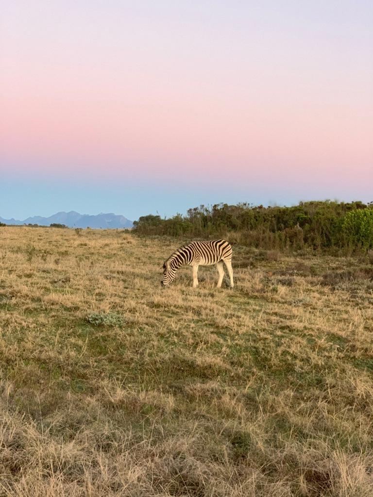 Zebra, Gondwana Game Reserve